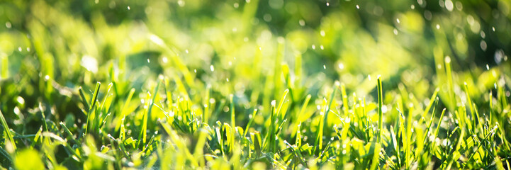 Photo sur Aluminium Jaune Close up of fresh thick grass with water drops in the early morning