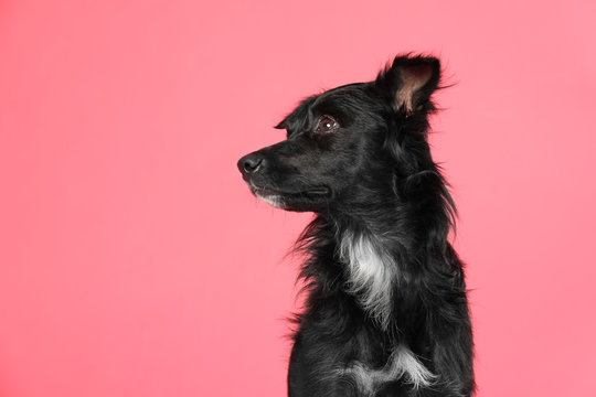 Cute long haired dog on pink background