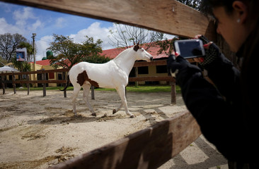 A woman takes a photo of a horse during the Expo Prado, a livestock and agricultural international exhibition, in Montevideo