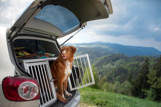 dog in the car in the box. A trip with a pet. Nova Scotia Retriever outdoors