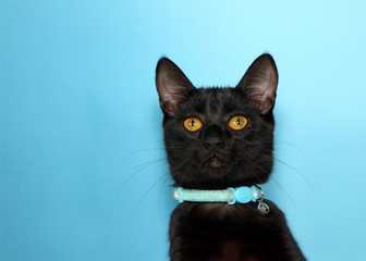 Portrait of an adorable black tabby cat with golden yellow eyes looking at viewer with curious expression. Wearing collar with bell to warn birds. Blue background with copy space.
