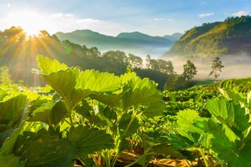 Strawberry plantation field sun light in morning