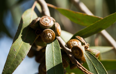 Eucalypt woody fruits on twigs