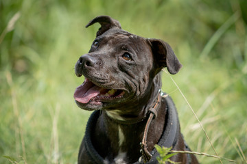 Side portrait of a brown coat color Staffordshire Terrier dog with open mouth sitting in high grass