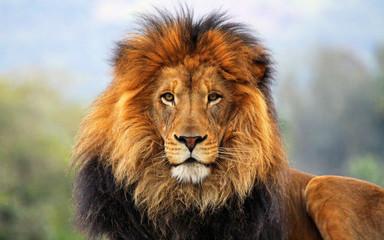 male lion big cat