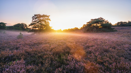 sunrise over flowering pink heather with mist in summer