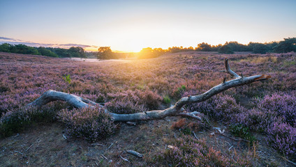 Sunrise over Purple heather hills in bloom wioth big tree trunk in front, Bloomin heather hills Dutch landscape Veluwe Netherlands