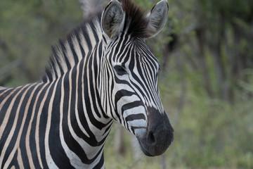Wall Murals Zebra Zebra (equus quagga) in grassland in the Timbavati Reserve, South Africa