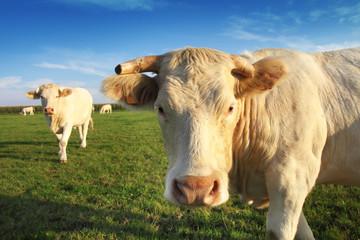 Fotobehang Koe Belle vache blonde d'aquitaine dans un champ