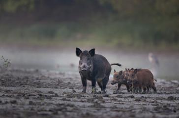 Türaufkleber Grau Wild boar with piglets walking in mud