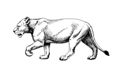 Lioness vector isolated hatch drawing sketch style
