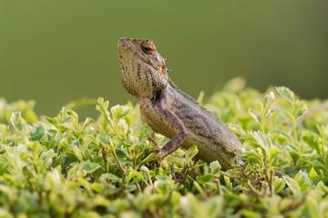 Oriental Garden Lizard - Calotes versicolor or eastern garden lizard, bloodsucker or changeable lizard is an agamid lizard found widely distributed in indo-Malaya
