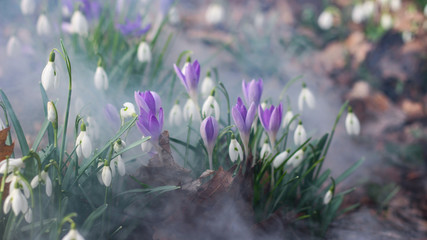Poster Krokussen crocus in snow