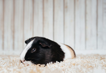 Sleepy guinea pig sits in the house and misses the owner. Portrait of a cute pet on a woolen and wooden background. Copy space, poster, advertisement. Thick and hungry pig. Beautiful picture.