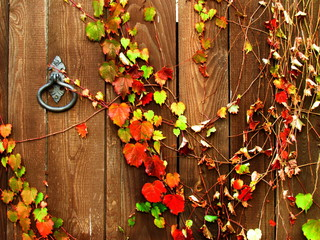 Colorful ivy leaves on dark wooden door with antiquarian metallic lock, nice old wood texture