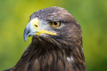 Closeup portrait of a golden eagle