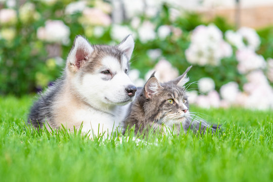 Alaskan malamute puppy and adult maine coon cat lying together on green summer grass and looking away
