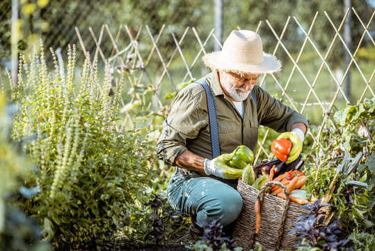 Senior well-dressed man picking up fresh vegetable harvest on an organic garden. Concept of growing organic products and active retirement