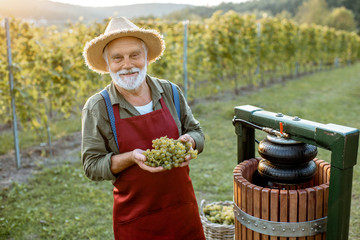 Senior winemaker holding freshly picked up grapes ready to put into the winepress machine, making fresh juice for wine production on the vineyard Fototapete