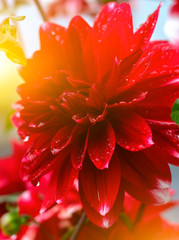 Tuinposter Rood Beautiful flower background. Amazing view of bright red Dahlia flowering in the garden at the middle of sunny summer of spring day with green grass landscape.