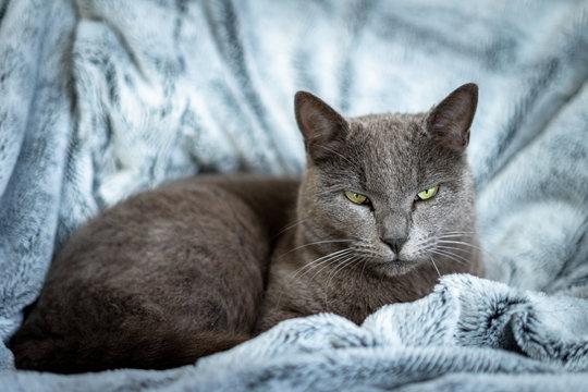un chat gris sur couverture bleu au regard méfiant