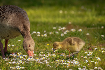 Young goslings (Anser anser) are on a fresh green meadow with daisies. Concept: animals or birdlife