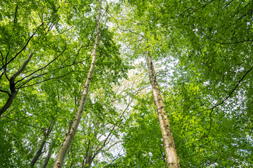 Birch trees in a green forest in summer