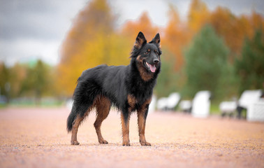 Dog breed Chodsko dog, Bohemian shepherd, standing on a footpath in autumn background autumn the bright colors and the trees