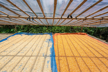 Maize or Corn dried in the sun to preservation of food