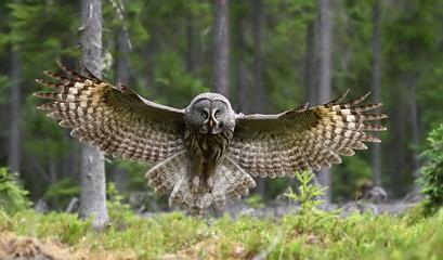 Great grey owl in flight in forest landscape. Owl in flight.