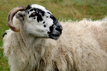 Sheep, Ventry, Ireland