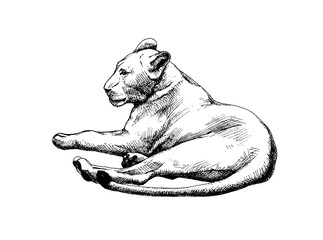 Lioness vector isolated graphic sketch hatched