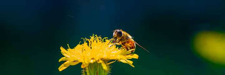 bee drone collects nectar on a marigold flower.
