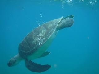Photo sous-marine d'une tortue nageant