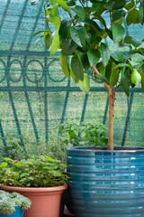 lemon tree growing in blue clay pot
