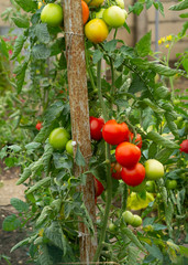 homegrown tomatoes growing in garden