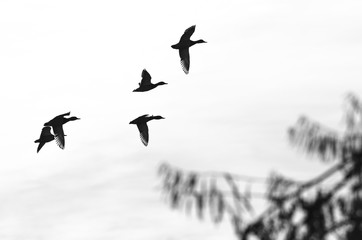 Wall Mural - Flock of Flying Ducks Silhouetted on a White Background