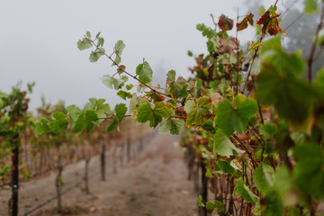 Fototapete - Fall colors, vineyard in mist and fog, closeup of vines with fruit