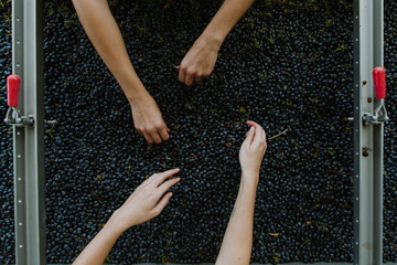 red grapes for wine being hand sorted for stems