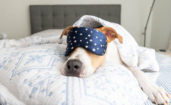 White and Tan Dog Sleeping on Human Bed Wearing Blue Eye Mask