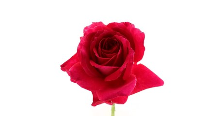 Fotoväggar - Beautiful red rose isolated on white background. Blooming rose flower opening closeup. Timelapse. 3840X2160 4K UHD video footage