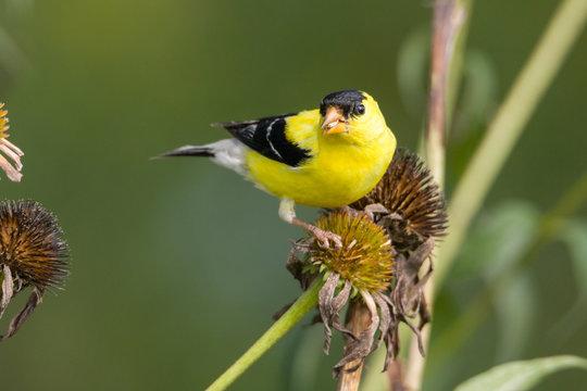 American gold finch sitting on flower stalk