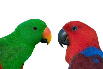 Closeup Eclectus parrot isolated on white background Wall mural