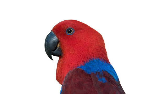 Closeup Eclectus parrot isolated on white background