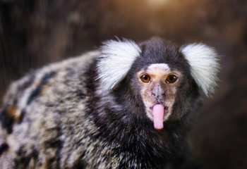 Portrait of white tufted-eared marmoset Wall mural