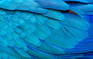 Foto auf Leinwand Texturen Close up of Blue macaw birds feathers background and.