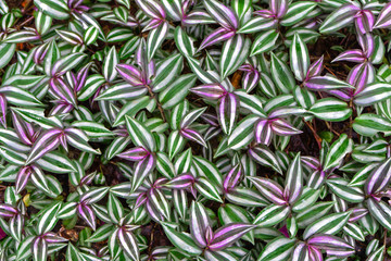 Tradescantia zebrina leaf background has zebra-patterned leaves.