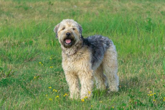 Irish soft coated wheaten terrier stay on grass