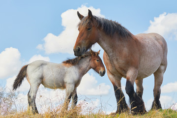 Mare with foal close together