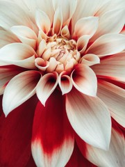Photo sur Plexiglas Dahlia flower of dahlia on black background